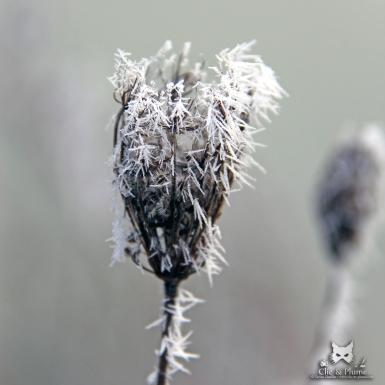 Détail d'hiver sur un reste végétal de l'été dernier.