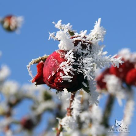 Rose givrée dans les vignes.