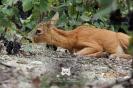2014, Damery. On rencontre davantage le Chevreuil en milieu forestier, mais j'ai eu la chance d'en approcher un, alors que j'étais en train de vendanger il y a 3 ans. Celui-ci était au repos, couché entre deux rangs. Repos ou envie de goûter aux délicieuses baies ? Cette photo a été prise en « ras de terre » pour mettre en valeur l'animal.