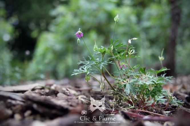 2016, Hautvillers. Cette plante sauvage, cousine de vos géraniums cultivés, peut se retrouver aussi sous le nom de « Pied-de-pigeon » ou « Géranium à Colombe » (Geranium columbinum). Cette fleur gracile et fine pousse dans les vignes aux sols calcaires et est hermaphrodite.