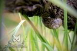 2016, Oger L'Escargot petit gris (Helix aspersa aspersa) est sourd et quasiment aveugle mais ses tentacules sont équipés de deux «nez» très puissants. Simplement en balançant ses tentacules pour détecter les odeurs qui l'entourent, l'escargot peut repérer une cible à plus d'une centaine de mètres. Près de 99 % de l'activité de l'escargot (y compris ses « repas ») a lieu de nuit avec un pic deux à trois heures après la tombée de la nuit, car la fraîcheur nocturne et la rosée facilitent ses déplacements.