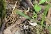 2016, Mutigny. Depuis des millions d'années, les fourmis mène une vie sociale qui implique le transport et l'approvisionnement de la colonie en aliments. En effet, la fourmi possède un squelette externe, et les muscles qui y sont fixés lui permettent de porter des masses énormes. Dans les faits, jusqu'à 60 fois son poids ! Dans ce rang de vigne enherbé, où l'on remarque un brin de vigne au sol, cette fourmi rapporte à grande vitesse certainement une punaise au garde-manger.
