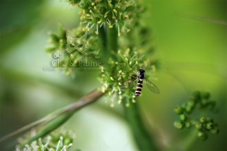 2016, Mutigny. Les Syrphes sont une famille de mouches imitant souvent les formes et les couleurs vives de certaines espèces de guêpes pour éloigner les prédateurs. Il existe plus de 500 espèces différentes de syrphes en France, ces insectes se remarquant à leur vol caractéristique (ils font du « sur place »). On les rencontre souvent en été sur les fleurs de vigne, recherchant le nectar dont elles se nourrissent et contribuent ainsi à leur pollinisation. Cette espèce trouvée dans le secteur de Mutigny au début de l'été est un Syrphe porte-plume (Sphaerophoria scripta). Il a une allure bien particulière : son nom évoque les tâches noires à l'extrémité de l'abdomen comme les tâches d'encre à l'extrémité d'un porte-plume.