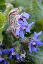 Un bleu violacé pour cette magnifique fleur en forme d'étoile, qui pousse dans certaines vignes. Photographiée sur le secteur Fleury-La-Rivière.