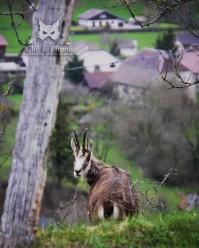 Chamois du Jura, 2017.