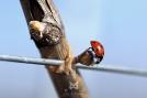 2015, Le Mesnil sur Oger Ce spécimen est une Coccinelle à 7 points (Coccinella septempunctata). En effet, les espèces sont souvent nommées d'après le nombre de leurs points. Selon la croyance populaire, le nombre de taches de la coccinelle dépend directement de son âge ; cette information est erronée.