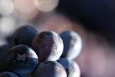 2015, Fleury-La –Rivière. Macro-Photographie de baies de raisins, afin de mettre en exergue la fragilité et les détails de leur peau.