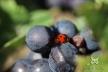 2015, Fleury-La-Rivière. En une vie, la coccinelle peut donner naissance à des milliers de larves, insectivores. Chaque adulte a une espérance de vie de deux à trois ans. Elles sont très utiles dans la lutte biologique contre les insectes considérés comme nuisibles, tels que les cochenilles, parasites de la vigne, qu'elles dévorent en grandes quantités.