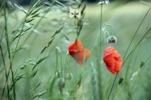 2013, Damery. Les Coquelicots sont les fleurs sauvages que nous trouvons le plus dans les vignes, accompagnés parfois de pavots (voir diaporama). Cette fleur répandue n'est pas dépourvue de charme pour l'œil du photographe en quête de finesse et d'émotion. Sa robe rouge, qui idéalement tranche sur le vert vif de la végétation est toujours apprécié, et son côté « herbe folle » non maîtrisée et fragile à la fois lui donne un atout supplémentaire.