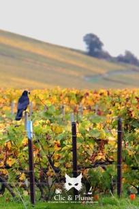 Corneille noire prise dans le vignoble d'Ay, au moment où les raisins non récoltés nourrissent un bon nombre d'animaux. Elle tient d'ailleurs dans son bec une baie.