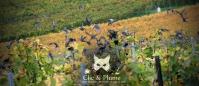 2013, Ay. Les Etourneaux-Sansonnets (Sturnus Vulgaris) sont des oiseaux vivants en groupe. Ils dorment en groupe, cherchent leur nourriture en groupe. On les voit à la fin de l'année formant des nuées d'oiseaux prenant différents formes en mouvement. On les voit également dans les vignes, se gaver des restes des raisins bien sucrés après les vendanges. Pour info, cet oiseau au plumage métallique moucheté de points blancs a un registre vocal surprenant : il varie des sifflets mélodieux aux cris rauques jusqu'aux imitations réussies de sons tels que les chants d'autres oiseaux, les téléphones, les carillons de porte et les klaxons !