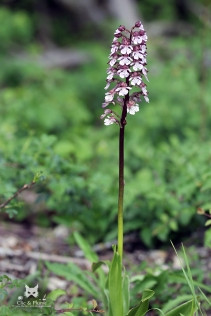 img_9581-orchis-pourpre-patis-damery-6