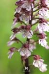 2016, Damery. L'orchidée pourpre pousse sur les pelouses calcaires ensoleillées, mais on a parfois la chance d'en trouver dans les vignes aux sols très calcaires. Ce fut mon cas en mai, entre les pâtis et les vignes de Damery. La plante surprend par sa taille et sa robustesse, mais est hélas inscrite sur la Liste rouge des espèces menacées en France.