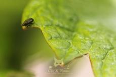 2016, Damery. Petit coléoptère (scarabée) photographié sur une feuille de vigne, sur une parcelle proche des « Pâtis », forêt locale.