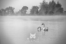Cygnes dans la brume