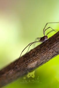 2016, Mutigny. Une bête étrange ressemblant à l'araignée, mais qui n'en est pas une ! De la même famille, les opilions ne possèdent que 2 yeux (6 à 8 pour leurs cousines), ne tissent pas de toile et ne sont pas venimeux. Ils sont même gracieux quand on y regarde de près, avec leurs longues pattes fines ! L'opilion est également nommé « faucheur » ou « faucheux », peut être en raison du fait qu'il apparait également dans les champs à l'époque des moissons et possède des pattes agissant comme des faux. L'opilion est omnivore, se nourrissant majoritairement de petits insectes présents dans la vigne, vivants ou morts. Dans la seconde option, il est considéré comme nettoyeur (détritivore).