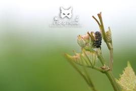 2016, Fleury-La-Rivière. Une photographie plus artistique que scientifique. C'est en effet davantage la position de la larve luttant pour ne pas être désarçonnée par les vents et le dégradé de couleurs entre le ciel et la vigne qui m'a intéressé dans cette photographie.