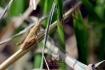 2016, Mutigny. Individu juvénile, encore dépourvu d'ailes, impossible à identifier donc. On identifie les criquets au stade adulte, et également à l'aide du chant. Souvent confondus avec les sauterelles, les criquets ont eux des antennes courtes et multiarticulées.