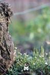 2014, Vincelles. En hiver, alors que les paysages sont bruns et que les couleurs verdoyantes sont loin derrière nous, une toute petite plante délicate nous offre ses fleurs blanches aux pieds des ceps : La Cardamine hirsute, encore appelée « Cressonnette » ou « Cresson de vigne ». De loin insignifiante, de près une beauté de la nature qui tendant ses feuilles et ses fleurs aux rares rayons du soleil hivernal de janvier.