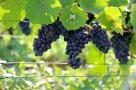 Pinot Noir de Reuil