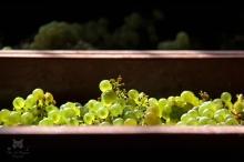 Chardonnay récolté
