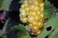 Chardonnay du Mesnil sur Oger