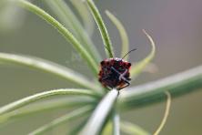 Graphosome rayé - Graphosoma lineatum (Pentatomidae)