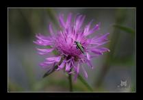 Oedemère noble - Oedemera nobilis (Tenebrionoidea)