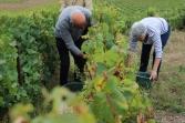 Touristes venus expérimenter les vendanges du Champagne Piot-Sévillano à Vincelles