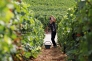 Vendange du week-end pour les enfants et petits enfants de vignerons !