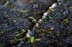 Focus sur le raisin après la première presse, Champagne Ridoux-Cousin à Arty.