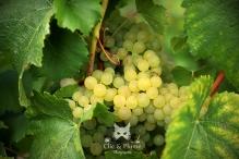 Chardonnay de Chouilly