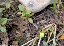Épeire Courge - Araniella cucurbitina