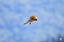 Faucon crécerelle volant au dessus d'une parcelle de vigne (Cheniot, Damery) - Falco Tinninculus (Falconidés)