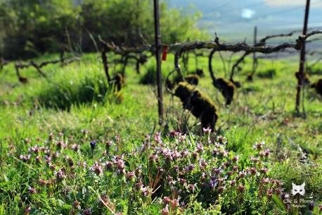 Tapis de Lamiers Pourpres - Lamium purpureum L. (Lamiacées)