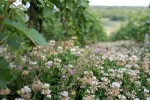 Trèfle blanc - Trifolium repens (Fabacées)