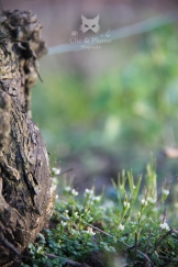 Cresson de vigne - Cardamine hirsuta L. (Brassicacées)