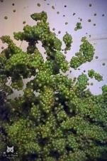Chute des raisins dans le pressoir - Champagne Bouché Père et Fils à Pierry.