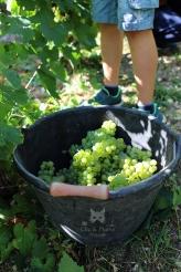 Chardonnay coupé par les enfants du village - Coopérative de l'Avenir de Reuil.