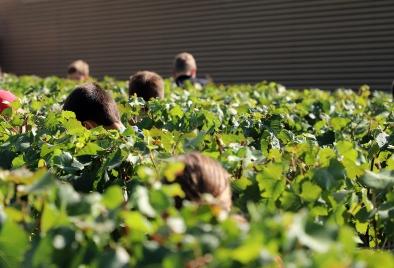 Têtes blondes à la cueillette - Coopérative de l'Avenir à Reuil.