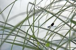 """""""Demoiselle"""" (agrion) sur les bordures de la plage de Damery."""