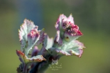 """Fleur"" de Pinot Meunier (croissance des feuilles )"